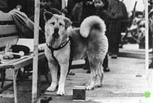 Hachiko / The most beautiful animal story - brings me to tears every time I watch it.  The pain and suffering Hachiko endured because of his undying love for his owner. / by DAWNBEAR