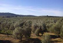 Single Variety/Variedad Única / #SingleVariety #GreenGold #EVOO #Olivetree #Olives #VariedadUnica #OroVerde #AOVE #Olivo #Aceituna #ReinosdeTaifas