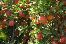 Fotos - Früchte