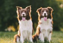 lovely border collies / Border Collie