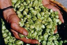 """Hopfenliebe: we love hops / """"Tradition"""", """"Taurus"""", """"Perle"""" und """"Cascade"""" - so heißen die Aromahopfensorten aus der Hollertau, die wir zur Herstellung von HOPSTER verwenden."""
