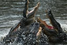 Aligators and Crocodiles / by elly gay
