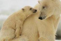 Eisbären polarbears