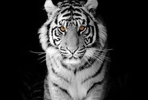 Animals - Feline / All sorts of Cats, Big and Small, and Things Feline / by Keith Moncrief
