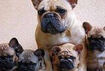 Bulldog francese! / I miei preferiti