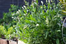 Grow Herbs / Herb Gardening, Medicinal and Cooking Uses for Herbs