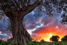 The Olive Tree / The Olive Tree