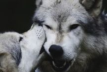 Best Animal Photography / The best animal photography collection. You can find many beautiful foxes, tigers, and wolves here.
