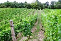 Vineyard / Winnica / Everything about our vineyards / Wszystko co związane z naszymi winnicami / Przysieki 412, tel: 693562380 Poland