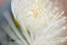 eucalyptus euphoria