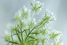 queen anne's lace and the likes / one of the most humble and most aesthetic flowers, kind of a graphic bloom, simply the best. it's essential oil works wonders for any kind of damaged skin.