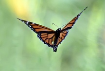 Butterflies field photography / Some very talented photographers have created wonderful images of #butterflies and #moths.  On this board Photographer is acknowledged where known, for technical details go to the link where the photo came from.