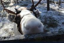 Reindeers in Rovaniemi, Lapland