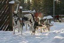 Huskies in Rovaniemi, Lapland, Finland