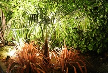 Trachycarpus Fortunei Hardy Palm Trees / Trachycarpus Fortunei also known as the Windmill or Chusan Palm Tree is the hardiest of all palms.