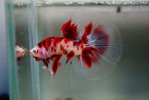 Betta / Betta Fish Peixe
