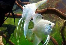 Angel Fish (Acará Bandeira) / Acará Bandeira Angel Fish Fish Peixe Ciclideo Cichlid