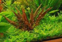 Cryptocoryne / Cryptocoryne Plantas aquaticas Aquatic plant Aquario Aquarium Fish tank Aqua design Aquascape Planted tank Aquario plantado