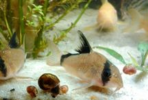 Corydora / Corydora Cat fish Cascudos Corys Aquarium