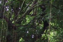 Rainforest - Centerline Car Rentals / A 15 acre natural rainforest wonder that is privately-owned but open to the public.