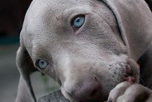 Weim, because I have one