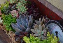 Sue's Succulents