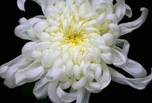 菊  chrysanthemum