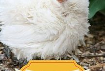 Chicken Keepers Gift Guide / Need to purchase a gift for a chicken keeper friend? Don't forget, their feathered friends, the chickens love gifts too. Let this holiday gift guide help you pick out a gift for your chicken keeping friends whether its for the holiday season, birthday, or just because!