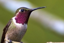 Favorite Bird, Humming Bird