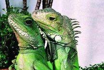 Lizards ♥