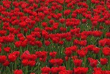 Tulips/Lalele