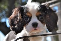 Cavalier King Charles Spaniel / Buy from a Responsible Breeder--- Cavaliers have too many Genetic Health Problems ----- Avoid Puppy Farms