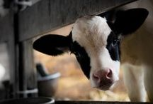 Moo Cows / A good reason to be a Vegetarian