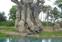 Baobab tree's