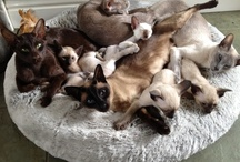 Dreamjax kittens / Siamese and oriental kittens