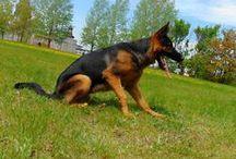 Berger Allemand / Mon chien, berger allemand.