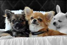Chihuahuas of RoyalContinentals