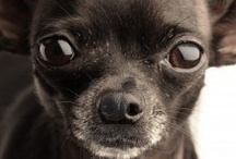 Chihuahua Love / by Tammy Orrick