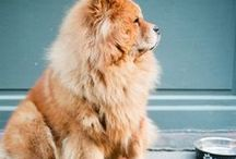 Dogs <3 / Eurasier, Chow Chow, Keeshond and more