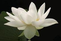 White peace