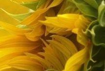 Под солнцем Прованса / Подсолнечник. Желтый цвет. Солнечная неделя