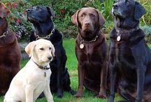 Labrador - Golden - Retriever