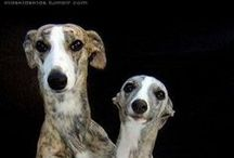 Whippets whip it good / dogs whippets