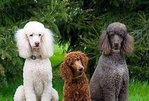 Dogs - Poodles.  Teacup to Standard / Oodles of Poodles