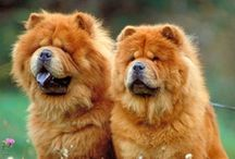 Dogs-chow chow / Chow chows