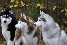 husky - malamute