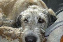 Lobero irlandés / Fotografías de Loberos Irlandeses (Irish Wolfhound)
