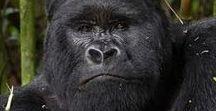Gorilla - Orangutan -