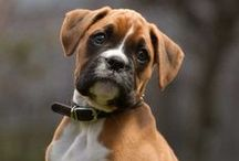 Dogs, most are boxers