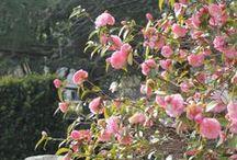 Camellias / Camellias of the world and my camellias